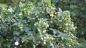 hop garden : hop cones - raw material for beer production and wind