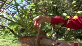 crab apple : picking small crab apples from tree in autumn garden