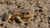 wart : big common toad (Bufo bufo) on garden ground after rain