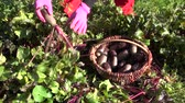purple : harvesting beetroot beet vegetable in farm