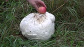 fungi : giant puffball Langermannia gigantea mushroom and red apple in garden Stock Footage