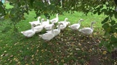 cackle : white domestic birds gooses group on green grass in farm garden