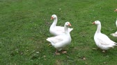 cackle : white domestic animal gooses in summer farm Stock Footage