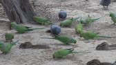 pomba : green parrots and pigeons in park eating grain bird food Agra India