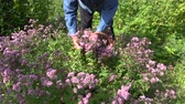 blossom : middle aged man picking flowering fresh oregano in herb garden Stock Footage