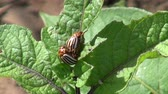 colorado potato beetle : two copulating Colorado potato beatles on potato leaf Stock Footage