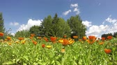 blossoming : blossoming medical herbs flowers marigold calendula in farm garden and clouds in wind. timelapse 4K