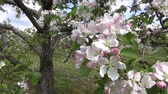 springtime : blossoming beautiful apple trees  in industrial orchard garden Stock Footage