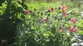 blossoming : Poppies Danish flag watered on sunny day, 4K Stock Footage
