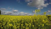 blossoming : Country road going through flowering rapeseed field, 4K Stock Footage