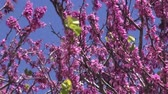 mar : Branches of pink flowering tree waving in wind
