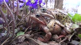 copulate : Flowering hepatica violet flowers and two copulating frogs in spring