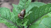 copulate : Two copulating striped colorado potato beetles on potato leaves in summer in vegetable garden