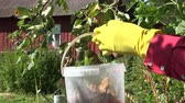 overdue : Gardener wearing yellow rubber gloves and red shirt collecting rotten pears into plastic bucket off the tree, 4K Stock Footage