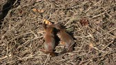 pet friendly : Three young beautiful red squirrels in park on ground