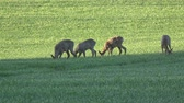 trawnik : Four roe deer group on spring wheat field in morning sunlight