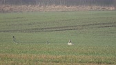 mítico : Graceful wild common cranes Grus grus on green wheat field in spring, 4K