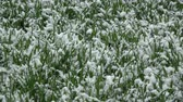 Late spring snowfall in May on green young wheat sprouts