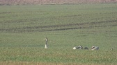 Graceful wild birds common cranes Grus grus on green wheat field in spring