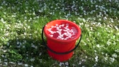 White apple tree petals falling in spring on red plastic bucket with water  in farm garden