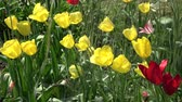 Watering yellow and red spring blossoming tulips in garden