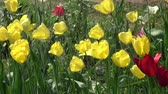 Watering yellow and red spring blossoming tulips in garden, slow motion