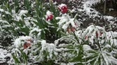Late spring snow in May falling on blossoming garden flowers