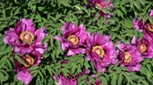 Many bees on beautiful blossoming peony flowers