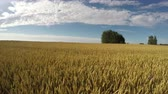 ripened : Ripening summer wheat golden field in wind and clouds motion, time lapse 4K