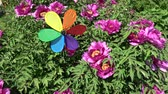 Rainbow colors decorative windmill toy near blossoming peony bush in spring, many bees and birds songs