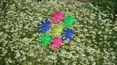 Beginning rotate in wind colorful windmill toy in garden and medical chamomile flowers  flower bed