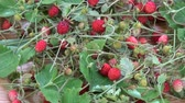morangos : Rotating harvested fresh wild strawberries berry and herbs for tea