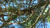esquilo : Mammal Red squirrel Sciurus vulgaris mating ritual in spring forest on old pine tree