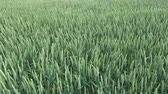 grain growing : Wind in green young fresh wheat field, agriculture background