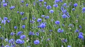 Many blue cornflowers in green young wheat field and wind