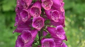 digoxin : Beautiful summer foxglove blossoms in garden