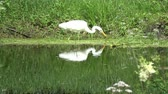 heron : Beautiful great white heron Egretta alba hunting  on  lake coast Stock Footage