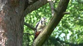 madármegfigzelés : Great spotted woodpecker in summer pine tree