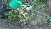 officinalis : Gardener herbalist watering spraying young lemon balm mint sprouts in garden Stock Footage
