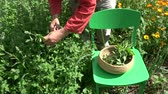 officinalis : Gardener herbalist picking fresh medical lemon balm mint plants in summer Stock Footage