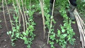 garden bed : Gardener dig dry wooden twigs sticks for young peas sprouts in spring