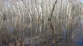 overflow pond : Spring flood water in birch forest Stock Footage