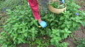 čerstvě : Gardener herbalist picking fresh medical  mint plants in summer Dostupné videozáznamy