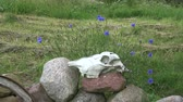 summer concept : Horse skull cranium on stones in farm yard and cornflowers in wind