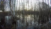 overflow pond : Sunset in spring birch forest with water flood, time lapse 4K