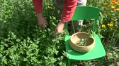 botany : Herbalist picking fresh medical lemon balm mint plants in summer garden