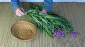 гомеопатический : To begin picking medical herb leaves from wild fireweed ivan-tea Epilobium angustifolium flowers Стоковые видеозаписи