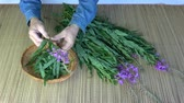 гомеопатический : Picking medical herb leaves from wild fireweed ivan-tea Epilobium angustifolium flowers