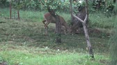 koniec : Wild animal roe deer eating fresh apples in summer end farm garden