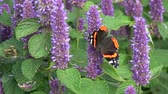 homeopatia : Beautiful butterfly red admirol and bumblebee on blossoming anise hyssop flowers Vídeos